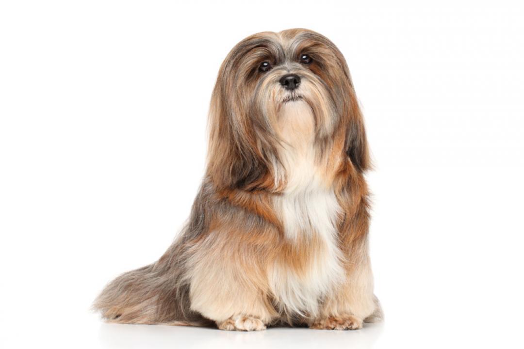 Bichon Frise & Lhasa Apso Pups for Sale   Brooknant Kennels