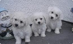 Bichon Frise Puppies For Sale In Kentucky